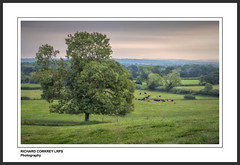 Late Summer in Stroud (Chalky666) Tags: tree trees field cattle cow hampshire southdowns painterly art landscape