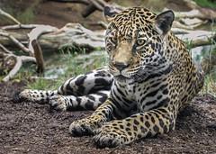 Just Hangin' with Nindiri (Penny Hyde) Tags: bigcat jaguar sandiegozoo flickrbigcats
