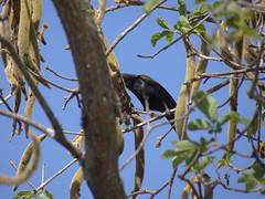 DSC06417 (familiapratta) Tags: sony dschx100v hx100v iso100 natureza pssaro pssaros aves nature bird birds montesio montesiomg brasil
