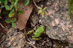 Posada Barrancas (66) (herbal tree) Tags: 2015 amphibian animal coppercanyon frog mexico posadabarrancas september travel wildlife