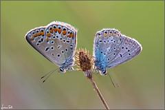 two princes (Luciano Silei - sky7) Tags: polyommatusicarus lycaenidae canon7d sigma150macro lucianosilei butterfly naturalmente