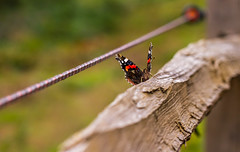 Living dangerously! (markhortonphotography) Tags: lepidoptery wings electricfence basking markhortonphotography nature lepidoptera tilford surrey wildlife butterfly vanessaatalanta thatmacroguy macro redadmiral insect invertebrate fence