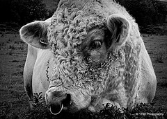 Wooly Booly (Rollingstone1) Tags: nature bull animal wool blackandwhite outdoor fauna mono bw monochrome ring
