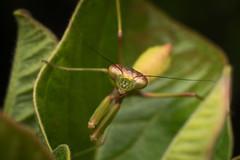 Spread all spreadable limbs (mantis) (Mika Andrianoelison) Tags: k3 madagascar macro bugs nature wildlife fauna animal insects predators hunters carnivorous closeup justpentax taxonomy:family=mantidae mantis poser spread limbs