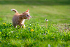 'A Taste of the World' (Jonathan Casey) Tags: flowers kitten ginger nikon d810 cat chums catchums 105mm f28 vr
