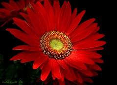 8-11-16 (124) Have a Great New Week Dear Friends!! (KatieKal) Tags: gerbera red yellow petals macro canon60d canonmacrolensf28
