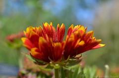 Rudbeckia (Sandra Kirly Pictures) Tags: rudbeckia azienkipark warsaw warszawa poland flower flowers outdoor nature