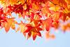 curtain (peaceful-jp-scenery (busy)) Tags: park autumn leaves leaf sony 日本 紅葉 saiko 西湖 amount kaede 山梨 富士五湖 カエデ fuji5lakes α700 dslra700 sal70300g sony70300g