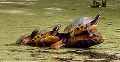 Three Turtles (hardmile) Tags: sunset lake bird nature water beautiful birds forest turtle wildlife turtles raccoon egret outdooors