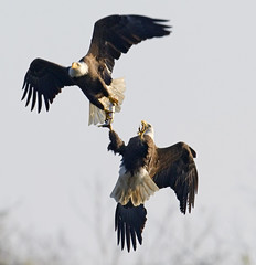 Eagle Fight (PictureOnTheWall) Tags: eagle baldeagle maryland raptors haliaeetusleucocephalus explored specanimal