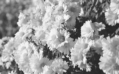 () Tags: flowers blackandwhite nature daisies