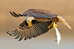 American Bald Eagle Fish Check (Brian E Kushner) Tags: fish bird birds animals flying inflight wings fishing md king eagle dam wildlife flight baldeagle beak bald maryland talon darlington f4 haliaeetusleucocephalus d800 birdwatcher americanbaldeagle conowingo 600mm nikor conowingodam avianexcellence afsnikkor600mmf4gedvr nikond800 bkushner brianekushner nikon600mmf4afsvr