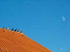 Barking at the moon (Balzs Kiss) Tags: roof moon pigeons panasonic hold tet galambok zselic panasonicg2 panasonic100300