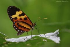 Maria-boba (Henrique Boechat) Tags: macro colors butterfly cores insect maria colores borboleta boba mechanitis lysimnia