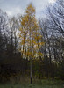 Fall's Last Holdout (AR_the old guy) Tags: fall ravine forest leaves gold bare branches raw toned
