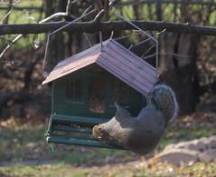 eeee Naughty Squirrel Vs Squirrel Proof Bird Feeder Taken With A Canon