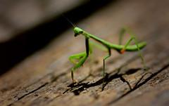 Baby Praying Mantis (emilyfreemanphotography) Tags: wood baby green mantis nikon praying 365 d600 project365