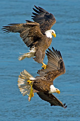 American Bald Eagles (Brian E Kushner) Tags: fish bird birds animals ed flying inflight wings fishing md king eagle dam wildlife flight baldeagle beak bald maryland 300mm talon ii darlington nikkor vr haliaeetusleucocephalus afs birdwatcher americanbaldeagle d4 conowingo conowingodam f28g tc20 nikond4 bkushner brianekushner tc20eiii afsnikkor300mmf28gedvrii