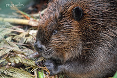 Beaver Mom (Peggy Collins) Tags: canada britishcolumbia beaver pacificnorthwest sunshinecoast beavers peggycollins beavercloseup beaverchewing beaverprofile