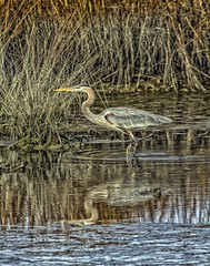Stealthy Stepper (Profcjgregory) Tags: blue heron great avianexcellence me2youphotographylevel2 me2youphotographylevel3 me2youphotographylevel1 freedomtosoarlevel1birdphotosonly me2youphotographylevel4