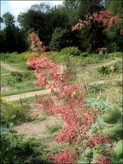 (Tölgyesi Kata) Tags: plumepoppy macleayacordata magasmákkóró vácrátótibotanikuskert botanikuskert botanicalgarden withcanonpowershota620 növényrendszertanigyűjtemény vácrátót