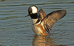 Hooded Merganser Drake Display (cetch1) Tags: california nature birds ducks hoodedmerganser lophodytescucullatus divingduck matingbehavior northerncaliforniawildlife