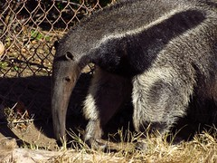IMG_1388 (pastough) Tags: kansas wichita sedgwickcountyzoo giantanteater myrmecophagatridactyla november2012