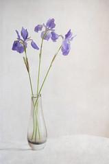 Iris blues (borealnz) Tags: blue iris light flower spring getty vase arrangment flypaper flypapertextures