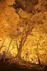 Amazing Maple Tree (peaceful-jp-scenery) Tags: lighting autumn leaves night gold evening maple sony toyota    amount carlzeiss       dslra900 sal2470z 900 variosonnart2470mmf28za