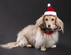 Honey in Xmas attire (Doxieone) Tags: santa christmas xmas red dog holiday green english hat miniature nikon colorful december cream dachshund blonde collar speedlight softbox sb80dx longhaired sb800 d90 strobist