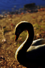 Devil (HOWLD) Tags: autumn leaves 50mm swan nikon bokeh evil devil howd oaklandlake nikon50mm oaklandgardens howardlaudesign