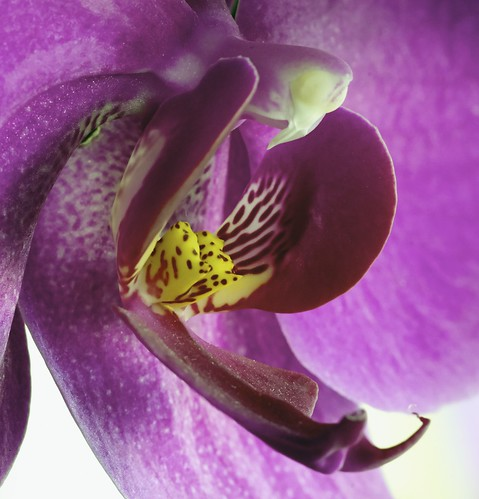Purple Moon Orchid #3