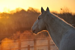 Welcoming the sun (PhotoCet) Tags: november horses horse ted cold sunrise caballo cheval grey dawn frost breath gray frosty pferd photocet