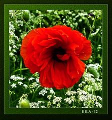 En stor valmue (Ellen Karine Andersen) Tags: flower framed blomst innrammet