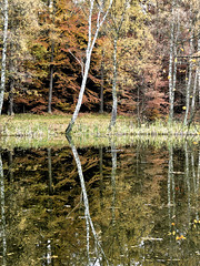 Autumnal reflections (Michael_Bkr) Tags: reflection tree forest birch darkwater