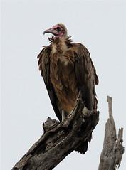 Necrosyrtes monachus (Hooded Vulture) (Nick Dean1) Tags: southafrica raptor vulture krugernationalpark birdofprey hoodedvulture necrosyrtesmonachus pafuri nickdean monnikaasvoel nickdean1