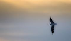 Gull (Faba Photography) Tags: winter sky gull himmel wolken möwe fliegen ohz faba