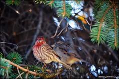 Roselin (Myosotis 12) Tags: bird nature birds aves ave pajaro familier roselin roselins