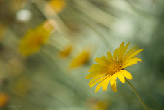 yellow.. (stacey catherine) Tags: flower nature yellow garden petals bokeh ngc kirstenbosch daisy