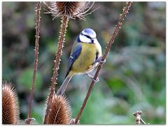 Blue tit on teasels! (macfudge1UK) Tags: uk winter england plant bird fauna flora europe branch britain wildlife seedhead gb perch wildflower oxfordshire bluetit avian paruscaeruleus 2012 oxon commonteasel teasels rspb dipsacusfullonum britishbirds ©allrightsreserved britishbird xs1 goldwildlife naturethroughthelens bbcwinterwatch rspblovesnature fujixs1 fujifilmxs1 rspbgreenstatus fujifilmfinepixxs1 finepixxs1