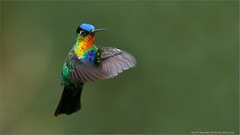 Fiery-throated Hummingbird (Raymond J Barlow) Tags: travel red nature costarica hummingbird wildlife adventure birdinflight 200400vr nikond300 raymondbarlowtours