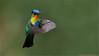 Fiery-throated Hummingbird (Raymond J Barlow) Tags: travel red nature costarica hummingbird wildlife adventure birdinflight 200400vr nikond300 raymondbarlowtours