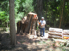 large-dangerous-tree-removals-sarasota-venice-florida-11 (Quality Tree Service of Sarasota) Tags: venice tree dangerous oak florida crane quality large commercial hauling cutting service sarasota trimming removal residential bradenton osprey removals nokomis