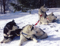 sled dogs . (yvon Merlier) Tags: flowers blue light sunset sea portrait sky horses mountain snow reflection love dogs nature water clouds landscape butterflies v soe sleddogs platinumphoto