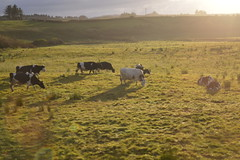 Free range cattle cows grazing in Lahinch Village in County Clare, Ireland (RYANISLAND) Tags: county ireland irish beach town europe clare european village beaches lahinch countyclare beachtown irishvillage lehinch liscannorbay liscannorbaybeach