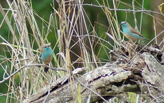 Blue Waxbill (tim ellis) Tags: holiday bird southafrica kruger waxbill sabisands bluewaxbill uraeginthusangolensis bluebreastedcordonbleu justcats sabisandsgamereserve nkorhobushlodge