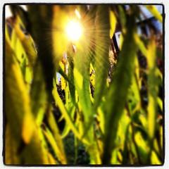 Holman Field Willow 1 (davetavani) Tags: morning sun sunlight tree germantown philadelphia willow sunburst sharethelight holmanfield