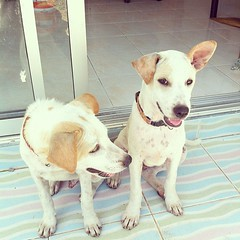 หมาฝาแฝด