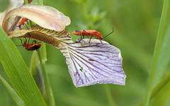 Common Red Soldier Beetle (Rhagonycha fulva) (steve whiteley) Tags: nature wildlife wildlifephotography animal insect commonredsoldierbeetle rhagonychafulva gladdon irisfoetidissima