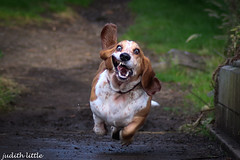 Boo , a very happy Hound (mejud) Tags: dog bassethound run bigears hound basset scotland westlothian canoneos760d canon outdoor animal mad